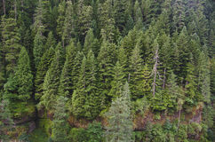 Douglas fir forest Royalty Free Stock Image