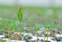 Douglas Fir germinate. Stock Photo