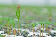 Douglas Fir germinate. Douglas fir germinate (Pseudosuga menziesii). bursting forth from planter. Harrop, British Columbia, Canada stock photo