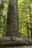 Douglas Fir Giant Stock Photography