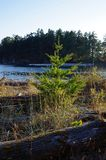 Douglas Fir joven que el árbol crece entre resistido abre una sesión una playa Fotos de archivo
