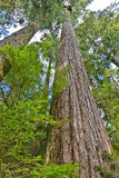 Douglas Fir Stock Photo