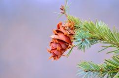 Douglas-fir Pine Cone Stock Image