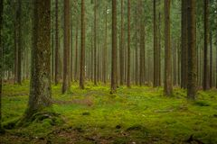 Douglas Fir Plantation Forest mûr en Europe centrale Image libre de droits