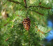 Douglas Fir Or Pseudotsuga Menziesii Royalty Free Stock Photos