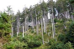 Douglas fir ( Pseudotsuga menziesii ) Royalty Free Stock Photography