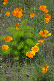 Douglas Fir Seedling & papaveri Fotografia Stock