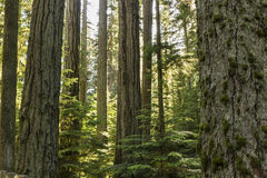 Douglas Fir Sunlight Stock Photo