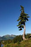 Douglas fir tree Stock Photos