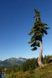 Douglas fir tree. Douglas fir tress on mountain, mt. baker park stock photos