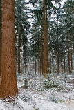 Douglas fir in winter Royalty Free Stock Images