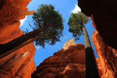 Douglas Firs em Wall Street, Bryce Canyon National Park, Utá foto de stock royalty free