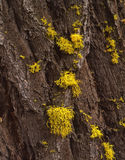 Douglas Fur Tree & Lichen Stock Photography
