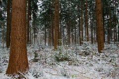 Douglas gran i vinter Arkivfoton