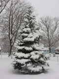Douglas gran med snö täckte filialer Arkivbild