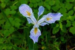Douglas' Iris Royalty Free Stock Image