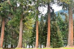 Douglas Jedlinowy drzewo obrazy royalty free