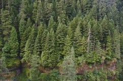 douglas jodły las obraz royalty free
