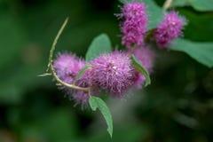 Douglas Spiraea Flowers 2 Fotografia Stock