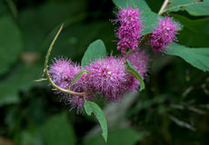 Douglas Spiraea Flowers Royalty Free Stock Photography