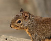 Douglas squirrel Royalty Free Stock Images