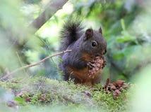 Douglas Squirrel avec un cône de sapin Photos stock