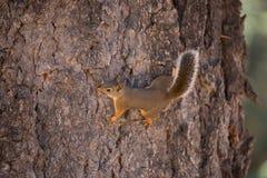 Douglas Squirrel (of chickaree) Stock Afbeeldingen