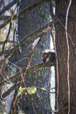 Douglas Squirrel or Chickaree eating Pine Cone in Forest royalty free stock photos