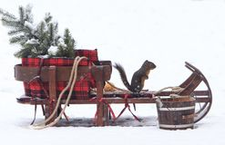 Douglas Squirrel on Christmas Sleigh 2 royalty free stock photography