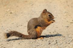 Douglas squirrel on a dirt path Stock Images