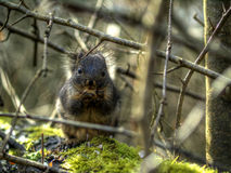 Douglas Squirrel stock photography