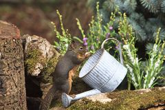 Douglas Squirrel Eating Peanut from Watering Can royalty free stock photo