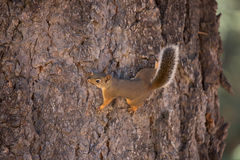 Douglas Squirrel (eller chickaree) arkivbilder
