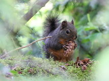 Douglas Squirrel with a Fir Cone Stock Photos