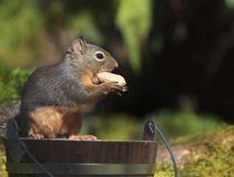 Douglas Squirrel Holding Peanut Standing on Wood Bucket 2 stock photo