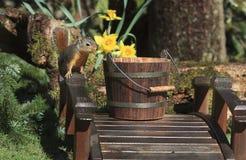 Douglas Squirrel na ponte de madeira que olha na cubeta de madeira fotografia de stock