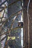 Douglas Squirrel oder Chickaree, die Kiefern-Kegel im Wald essen lizenzfreie stockfotos