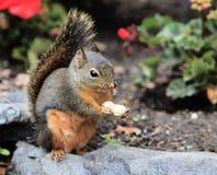 Douglas Squirrel s'asseyant sur la roche mangeant l'arachide images stock