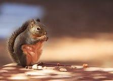 Douglas Squirrel Standing Eating Peanut fotos de stock