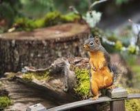 Douglas Squirrel Standing nos trilhos de madeira fotografia de stock royalty free