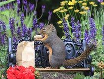Douglas Squirrel Standing Park Bench que come o amendoim 2 fotografia de stock royalty free