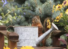 Douglas Squirrel Standing at Watering Can royalty free stock images