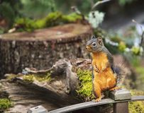 Douglas Squirrel Standing on Wood Railing royalty free stock photography