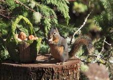 Douglas Squirrel sul cibo del ceppo del pino fotografie stock libere da diritti