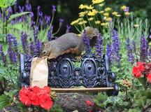 Douglas Squirrel sur le banc de parc avec le déjeuner de sac photographie stock libre de droits
