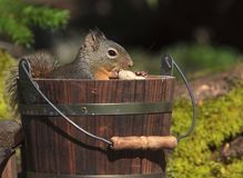Douglas Squirrel Sitting in Wood Bucket stock photo
