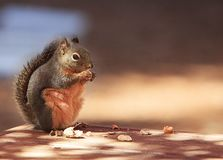 Douglas Squirrel Standing Eating Peanut stock photos