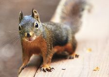 Douglas Squirrel with Water Drop on Chin royalty free stock image