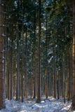 Douglas-Tanne Stockfoto