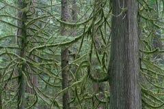 Douglas-Tannenbäume im Regen-Wald stockfotos